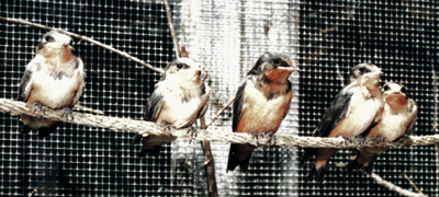 Barn Swallows, fledglings ready for release.