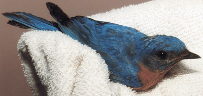 Adult male Eastern Bluebird recovering from an injury.
