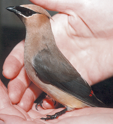 Adult male Cedar Waxwing, recovering from being hit by a car.