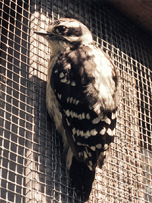 Downy Woodpecker, just before release.