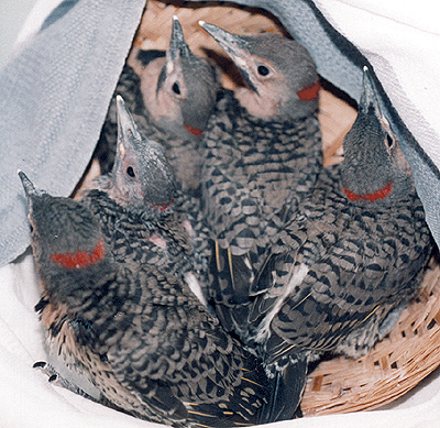 Yellow-Shafted Flickers, basket of late nestlings.