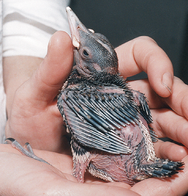 Mid-Nestling Flicker.