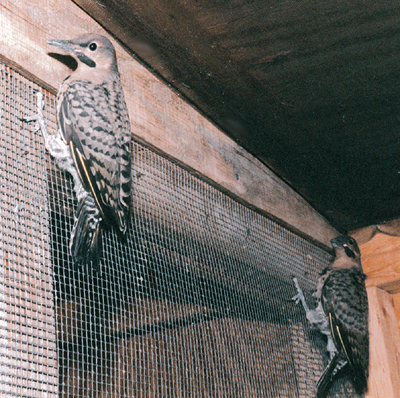 Fledgling Flickers in the aviary before release.