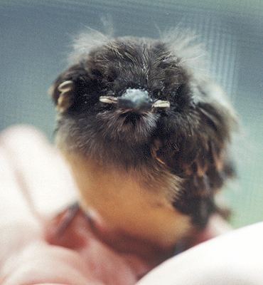 Injured nestling Great Crested Flycatcher.