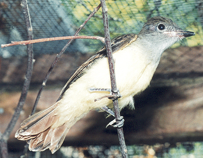 Recovered Great Crested Flycatcher, ready for release.
