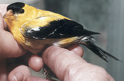 Adult male American Goldfinch, recovered from hitting a window.