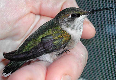 Fledgling Ruby-Throated Hummingbird that has recovered from an injury (side view).
