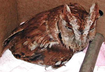 Young Rufous (red) Eastern Screech Owl, recovering from a gunshot wound.