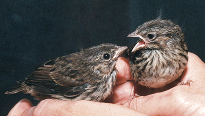 Song Sparrows, late nestlings.
