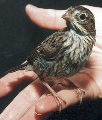 Song Sparrow, fledgling.