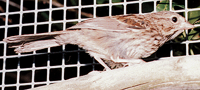 Song Sparrow, just before release.