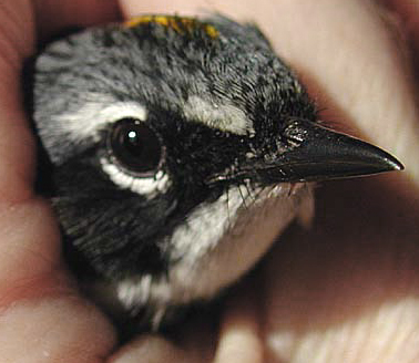 Face of recovering cat-attacked Yellow-Rumped Warbler.