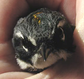 Face of recovering cat-attacked Yellow-Rumped Warbler, front view.